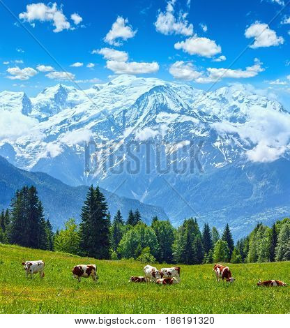 Herd Cows On Glade And Mont Blanc Mountain