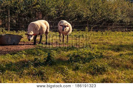 2 white sheep in a meadow posing in front of the camera. Flemish rural landscape in Het Vinne Zoutleeuw Flanders Belgium