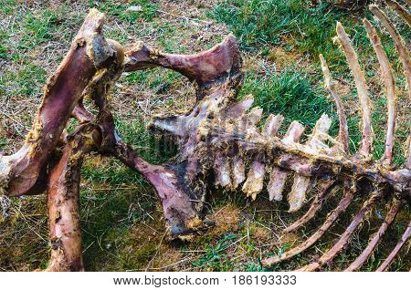 Animal Skeleton Eaten By Scavengers Carrion