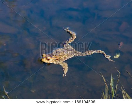 Common or European toad Bufo bufo in early spring close-up portrait in water selective focus shallow DOF.