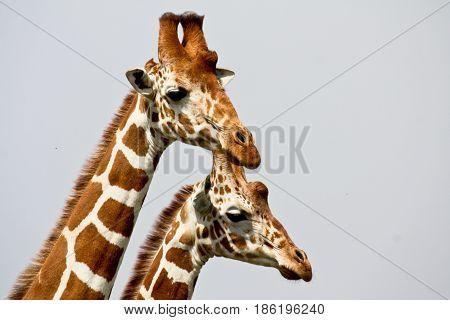 Portrait of two reticulated giraffes (Giraffa camelopardalis). Ol Pejeta Conservancy Kenya.