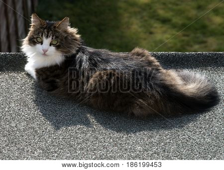 domestic scene of a beautiful Maine coon cat sunning himself on a roof late in a summers day , subject is looking at the camera, room for copy space.,