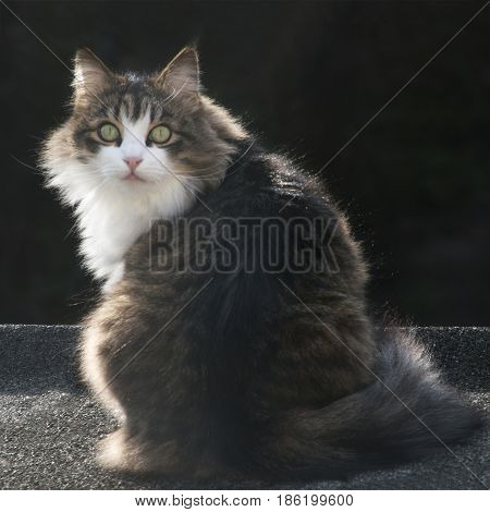 square image of a beautiful maine coon cat back lit by the late summer sun sat on a roof looking at the camera  copy space .