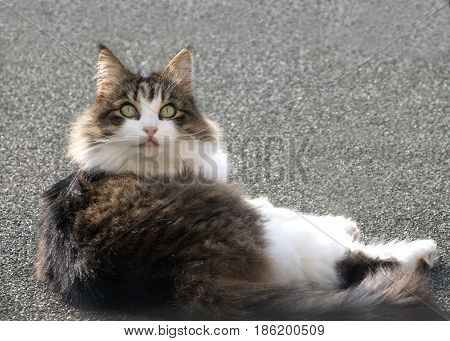 Maine coon cat looking back at the camera enjoying the sun on a same color roof ideal for copy space, This beautiful domestic animal is grooming himself.