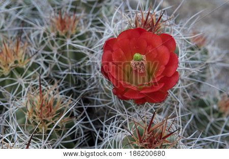 Pollen Covered Claret Cup Cactus Flower