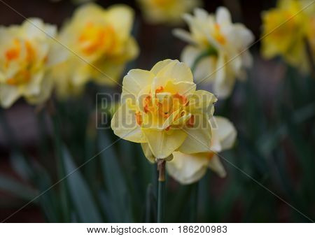 Queensday Daffodil Centered