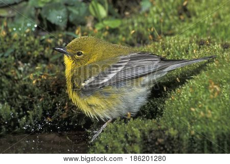 A male Pine Warbler, Setophaga pinus at the edge of a pond in the forest