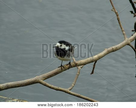 Pied wagtail peched on a branch above water