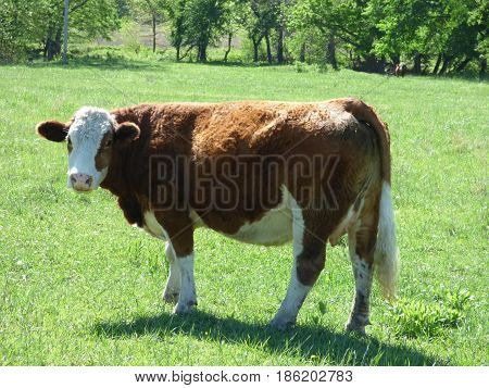 A Hereford cow out in the pasture.