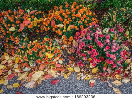 Colorful mums flowers intertwined with Autumn leaves background image.