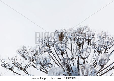 cow parsnip, dry plant covered ice and snow after a icy rain. The sun shines through them.