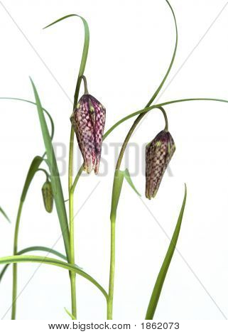 Opening Buds Of The Snakeshead Fritillary