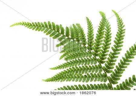 Single Fern Leaf