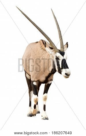 Oryx Gazella or Gemsbok walking seen from front isolated on white background