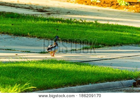 a mallard duck strolling down the sidewalk