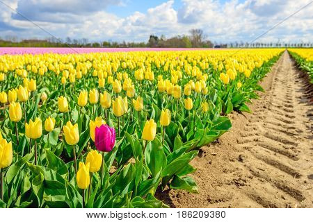 One pigheaded red tulip blooming on the edge of a Dutch field with in the foreground only yellow tulip flowers. In the background are pink flowering tulip blooms too.