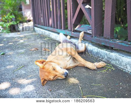 Asian dog resting in the shade along the wood fence on the cement ground tip over