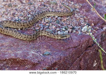 The snake basks on the rock the Viper crawls on the red stone