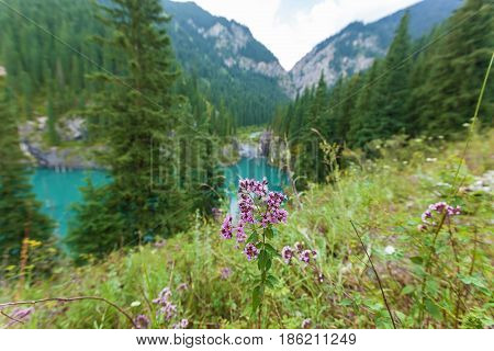 Purple flower on a background of a mountain river flowing into the lake the natural beauty of Kazakhstan
