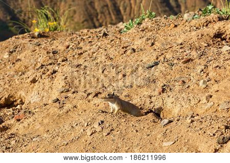 Gerbil peeking out of his hole nature and animals of Kazakhstan