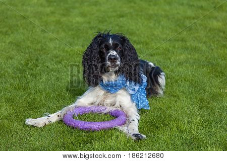 the dog of breed Cocker Spaniel lies on a green grass blackly white Cocker Spaniel