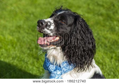 dog of breed Cocker Spaniel portraitblackly white Cocker Spaniel