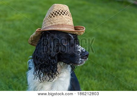 the dog of breed Cocker Spaniel sits in a straw hat blackly white Cocker Spaniel