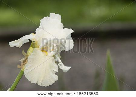 Ornamental Flowers of Iris plant in full Spring bloom.
