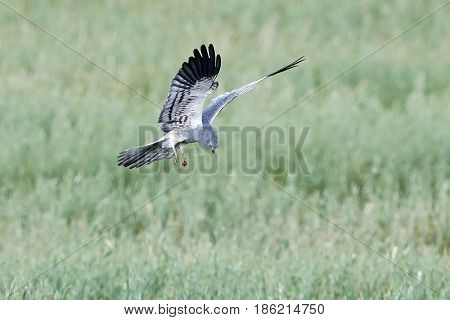 Montagus harrier hunting with vegetation in the background