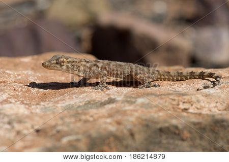 Moorish Gecko (Tarentola mauritanica) in North African desert