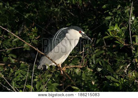 A Black-Crowned Night Heron at a rookery in Florida
