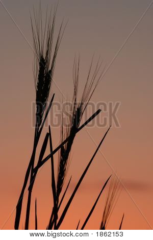 Early Morning Wheat Stalks