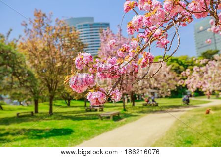 Closeup of blossoming cherry tree branch in Hamarikyu Gardens, Tokyo, Chuo district, Japan. Shiodome buildings and people on benches on blurred background. Spring concept, Hanami and outdoor life.