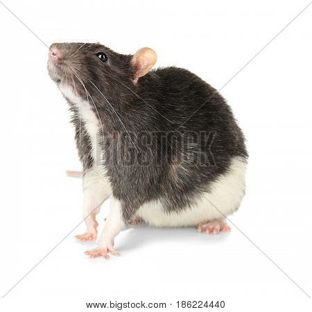 Cute rat on white background
