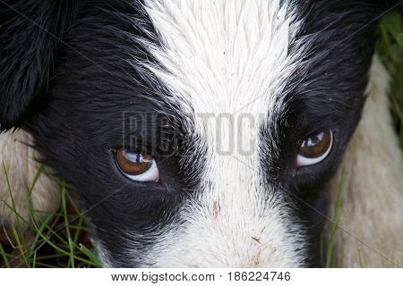 A close up of a boarder collies eyes