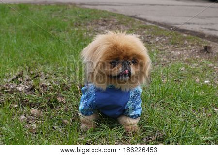 The Pekinese sits on a clearing in blue overalls