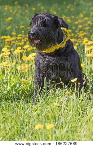 Giant Black Schnauzer Dog with a wreath of dandelion on the neck is sitting at the blossoming dandelion meadow. Vertically.