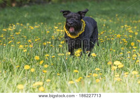 Barking Giant Black Schnauzer Dog with a wreath of dandelion on the neck is standing at the blossoming dandelion meadow. Horizontally.