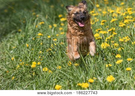 Adorable crossbreed brown dog is in a jump running against the camera at the blossoming dandelion meadow. Horizontally.