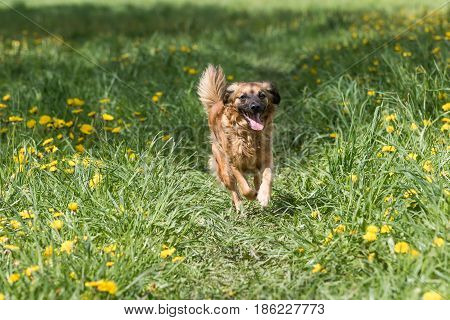 Closer look of crossbreed brown dog is running against the camera at the blossoming dandelion meadow. Horizontally.