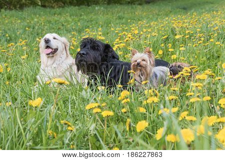 Giant Black Schnauzer Dog Golden Retriever Dog Yorkshire Terrier and crosbreed brown dog are lying at the blossoming dandelion meadow. Horizontally.