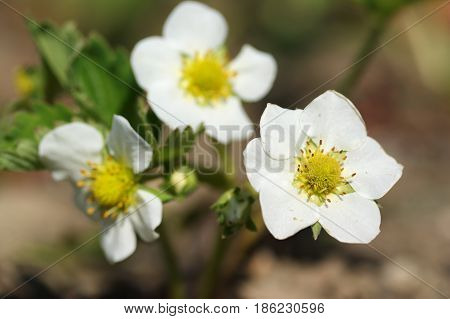 Strawberry plants growing in allotment garden in spring selective focus close up