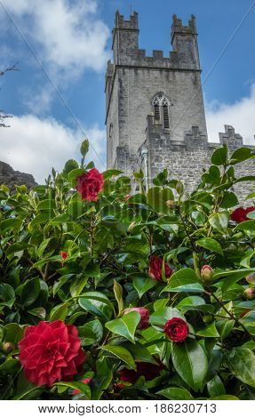 Old St Mary Cathedral in Limerick, Ireland, with blooming purple flowers in the foreground