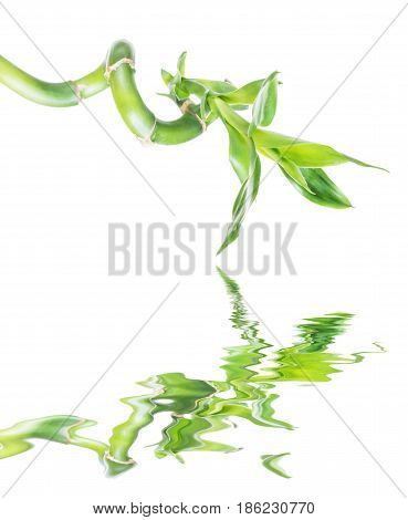 Single houseplant stem of Lucky Bamboo (Dracaena Sanderiana) with green leaves twisted into a spiral shape isolated on white background reflected in a water surface with small waves