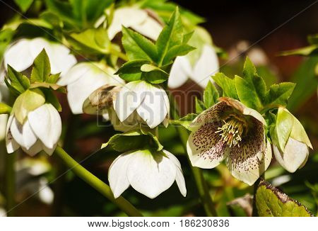 Helléborus, white in red, brown speckles, the plant is lit by the sun, there are many flowers on the bush, the spring day, in full bloom and bud, helleborus,  a plant in full bloom