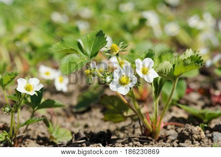 Strawberry plants growing in allotment garden in spring flowering plants in the ground selective focus