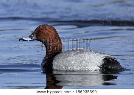 Common pochard swimming in water in its habitat