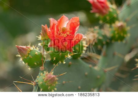 prickly pear in the botanical garden, full bloom, red flowers and a lot of buds, one beautiful close-up flower