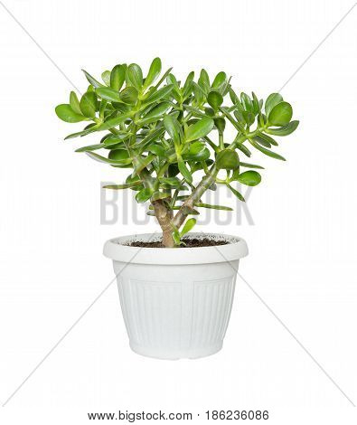 House plant Crassula flower succulent plant in a flower pot isolated on a white background