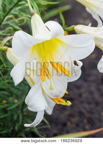 Several large flowers of beautiful white tubular lilies outdoors close-up